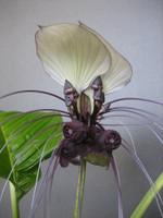Tacca_integrifolia_in_bloom