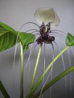 Tacca_integrifolia_in_bloom_2