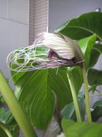 White_bat_flower_beginning_to_burst