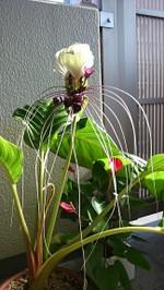 Fabulous_white_bat_flower